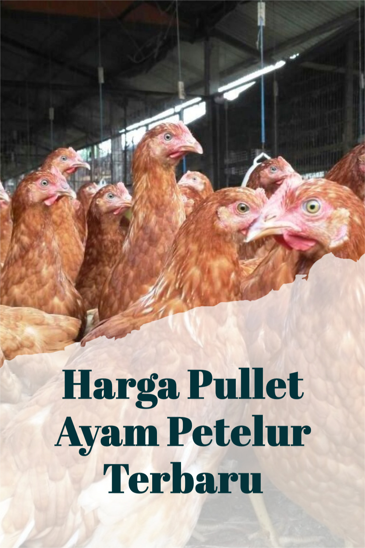 Harga Pullet Ayam Petelur Terbaru